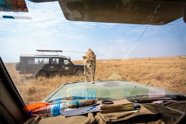 Cheetah Approaching Windscreen