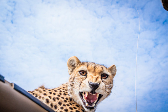 Cheetah Growling