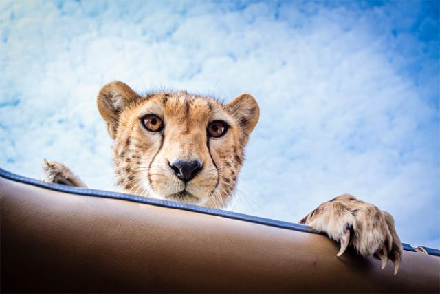 Cheetah Looking On