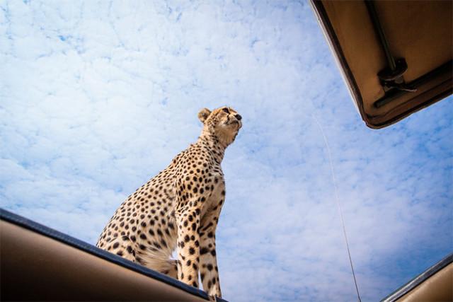 Cheetah On Top
