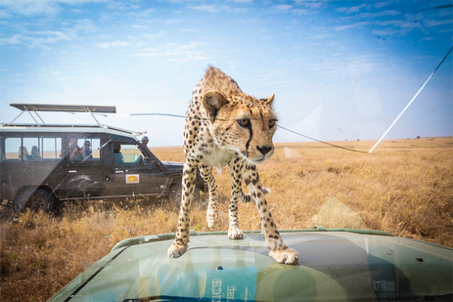 Cheetah Peers Inside
