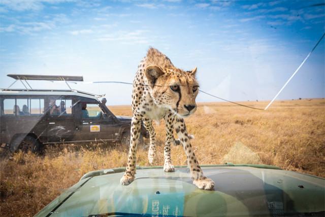 Cheetah Peers Inside