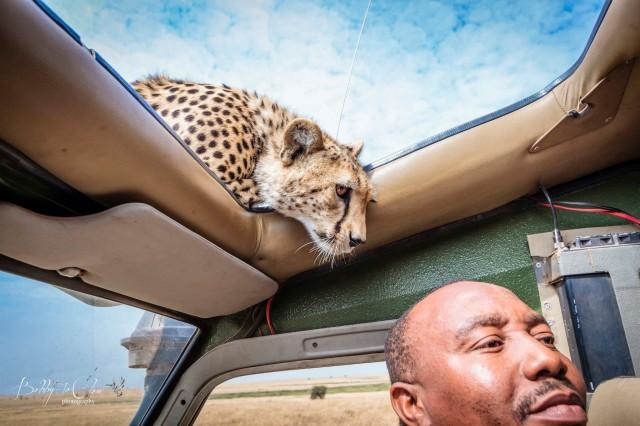 Photographer Documents Wild Cheetah's Personal Visit To Their Safari Vehicle In the Serengeti