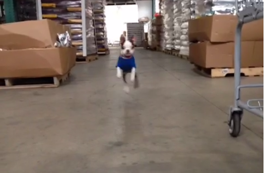 Boston Terrier Puppy Hops Around Like A Bunny