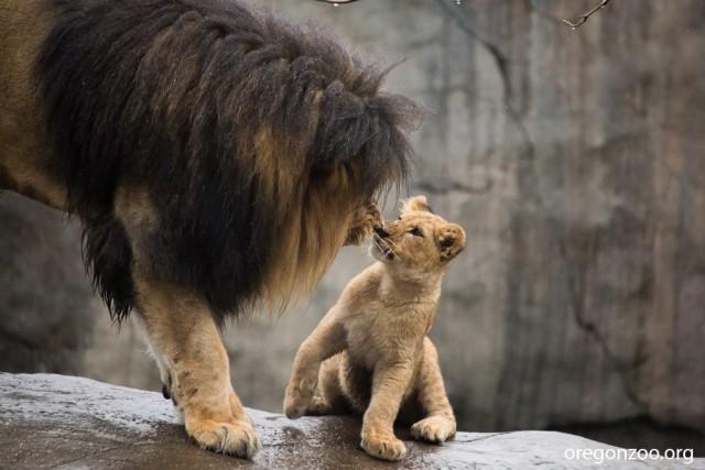 Father Lion Sniffs Cub