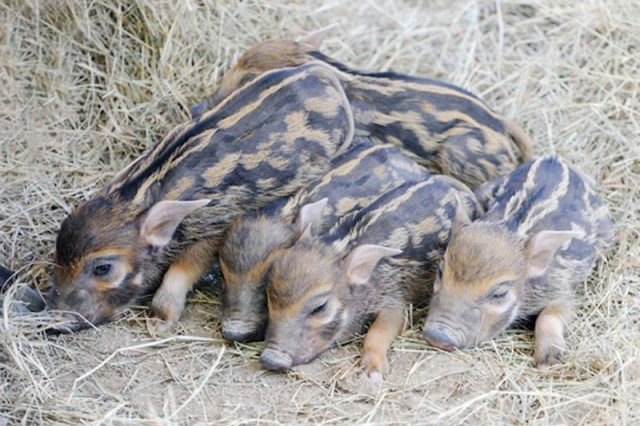 Five Little Hoglets