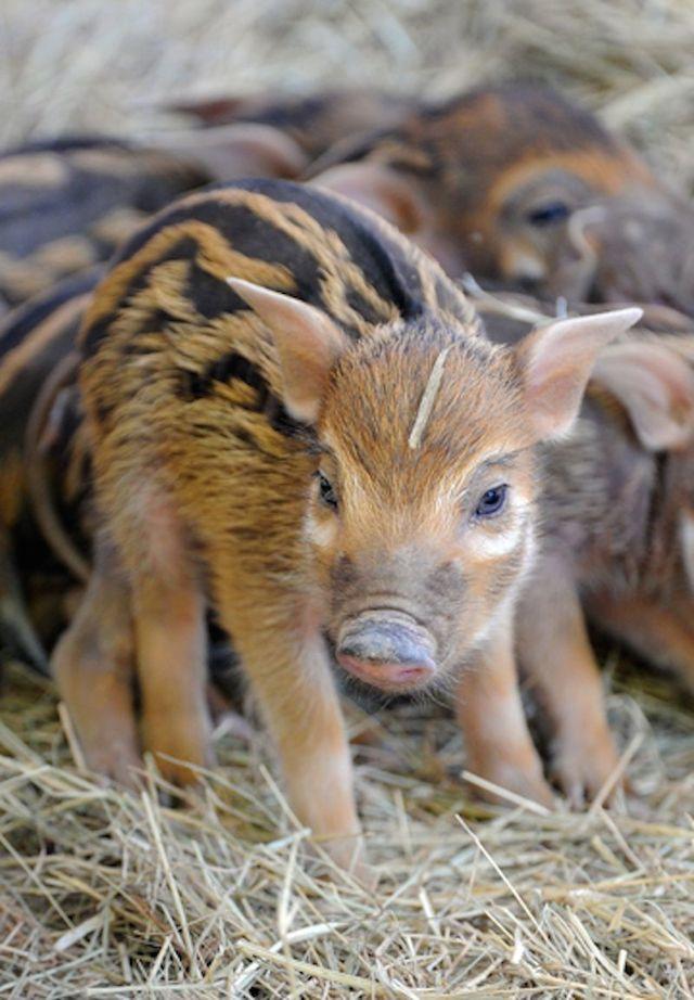 Piglet Closeup