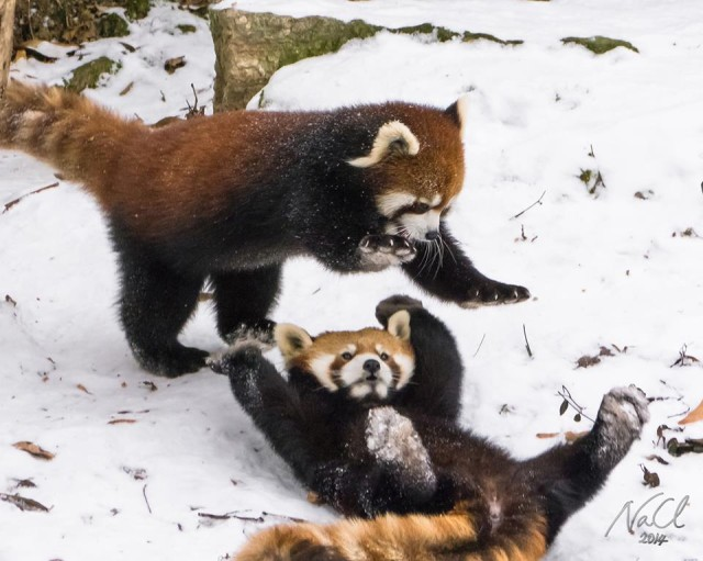 Red Pandas Playing In Snow