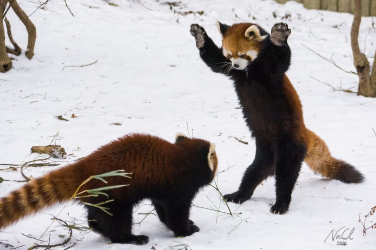 Two Chinese Red Pandas Play In the Snow At The Cincinnati Zoo & Botanical Garden
