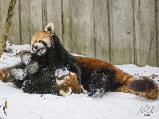 Red Pandas Playing Together In the Snow