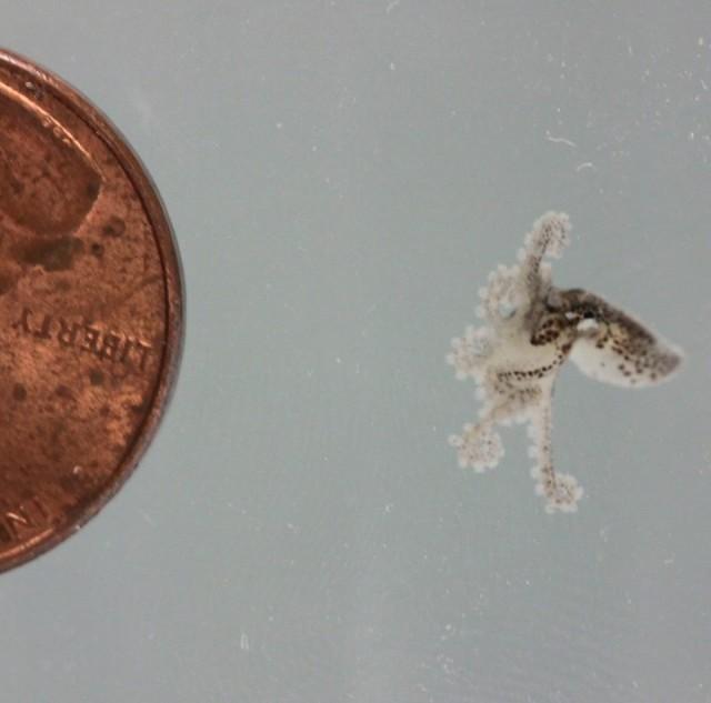 Tiny Octopus vs Penny
