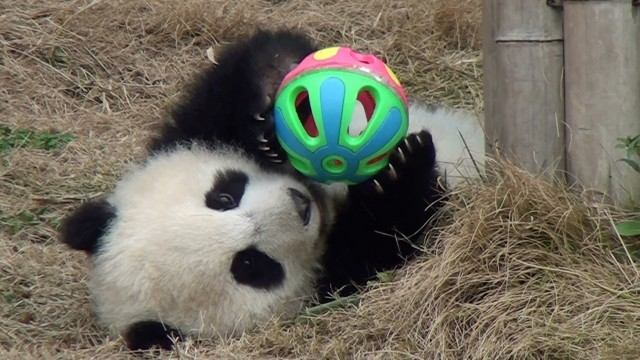 Giant Panda Cub Plays With A Colorful Ball Until It Rolls Away