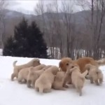 Lively Mother Dog Gleefully Teases Her Nine Puppies To Play With Her In A Snowy Backyard