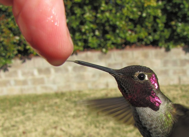 Man Feeds Hummingbirds from His Hand
