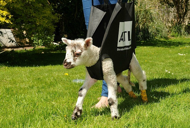 Wobbly Lamb Unable To Stand Gets Help From Creative Woman With A Modified Shopping Bag