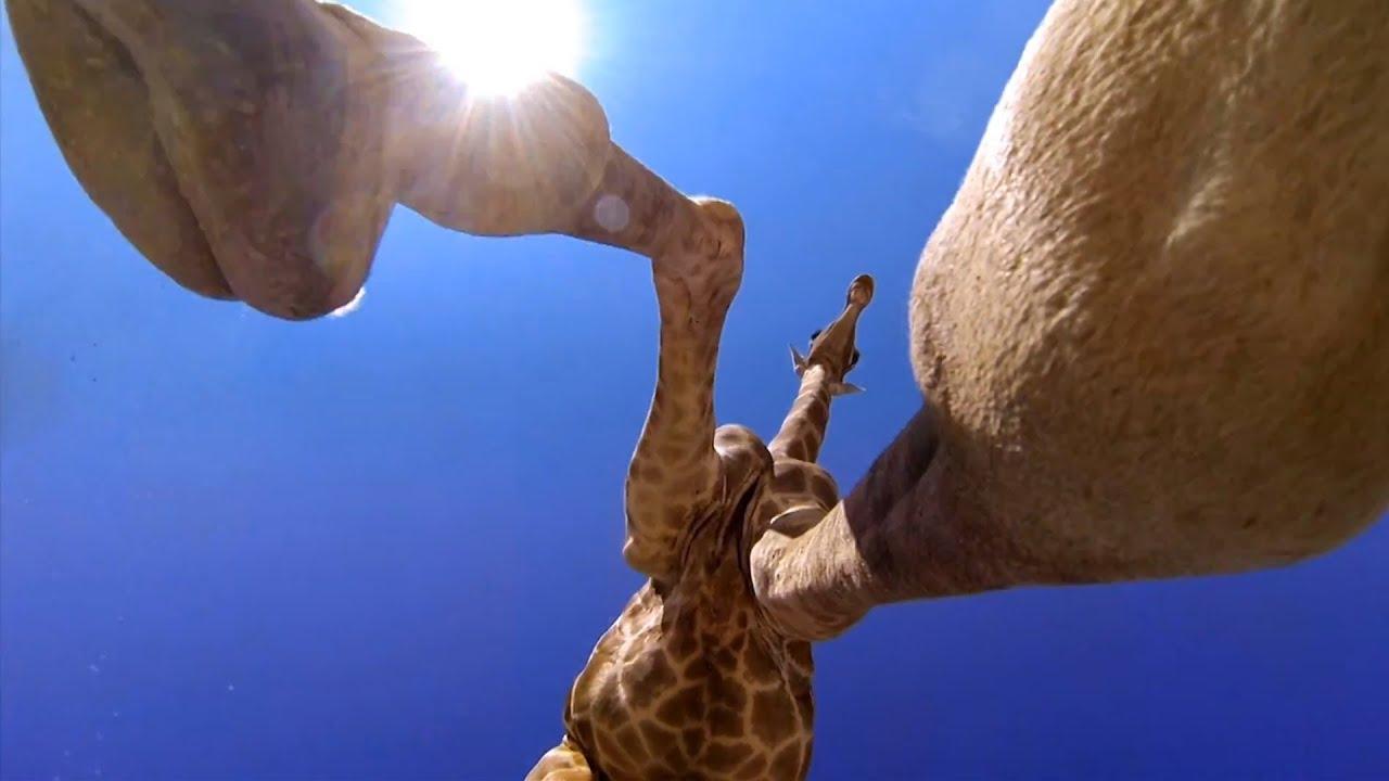 Giraffe Kicks Over GoPro Revealing a Side Rarely Seen
