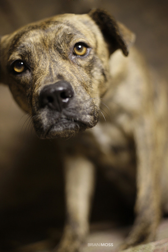 Rescue Me - Brindle Pit