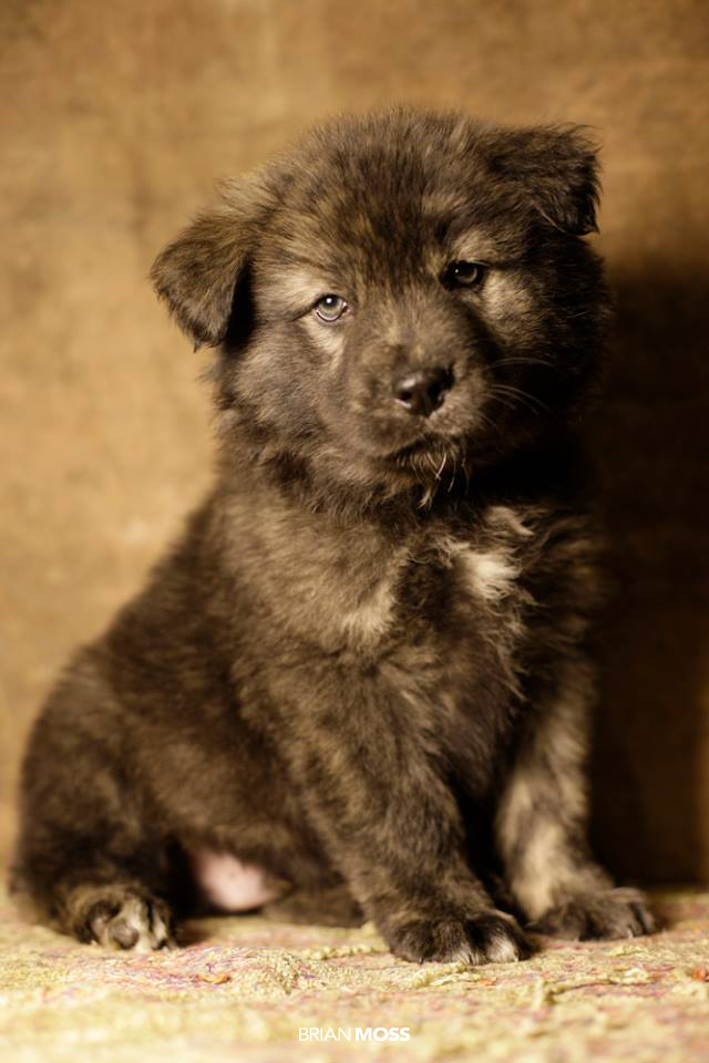 Rescue Me - Teddy Bear Puppy