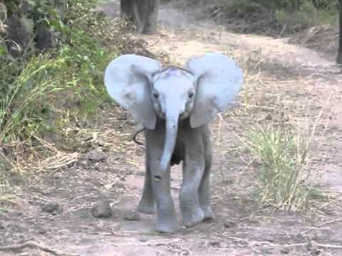 Baby Elephant Attempts To Charge At An Oncoming Vehicle Before Turning Around To Rejoin Herd