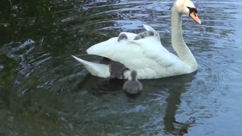 Baby Swans (Cygnets) Hitch A Ride Atop Their Mom, Hiding Beneath Her Folded Wings