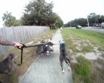 Four Pit Bulls Pull Their Skateboarding Human Along Behind Them Creating A Modern Version of  'The Iditarod'