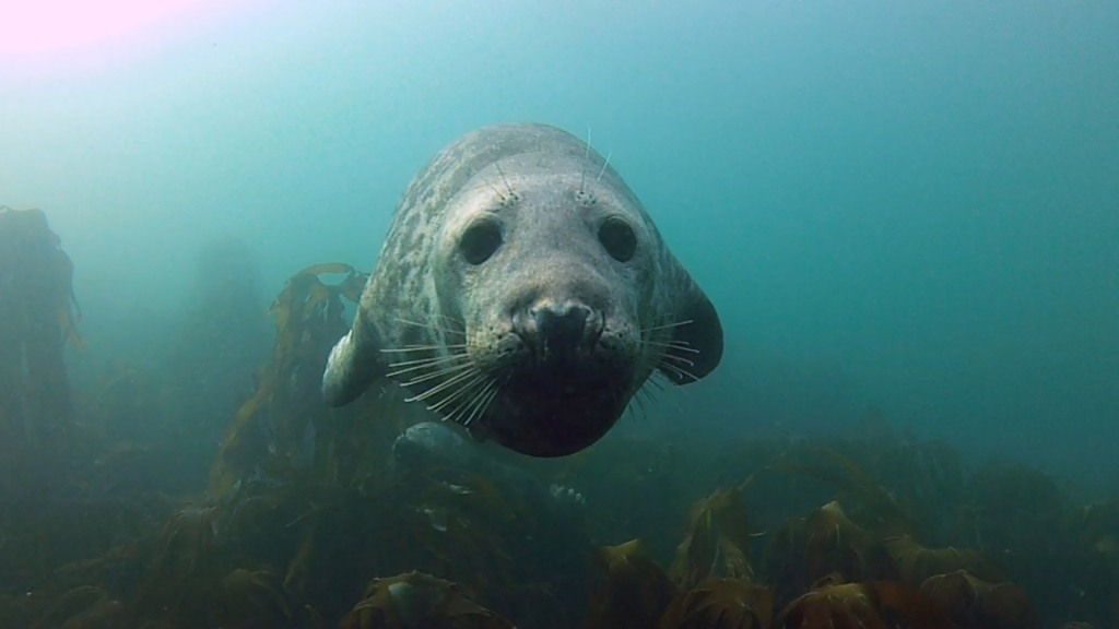 Harbor Seals Get Friendly With SCUBA Diving Photographer