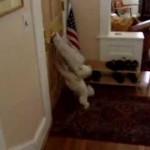 Little Dog Goes Nuts Whenever Mail Arrives Through Slot In The Front Door