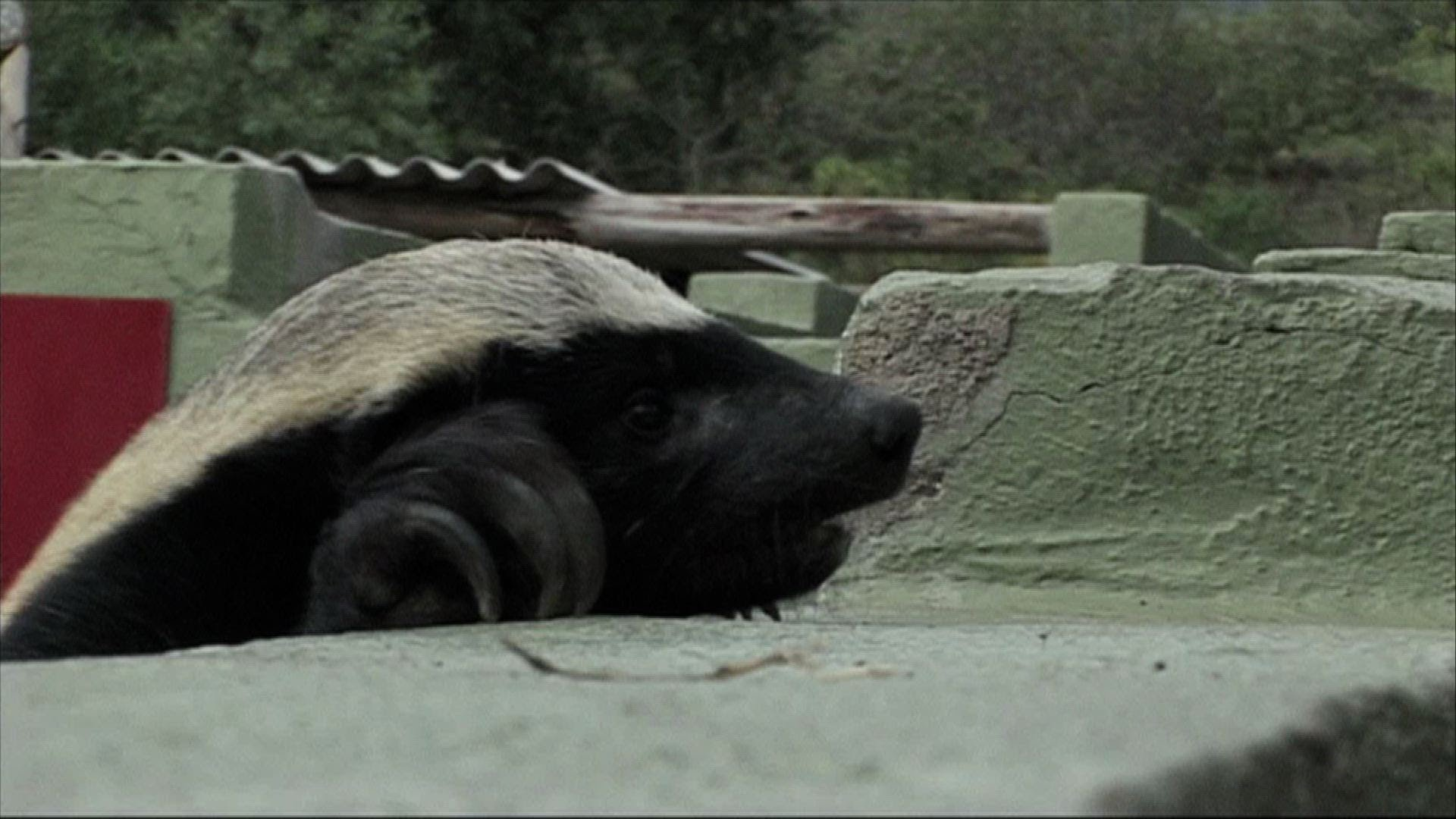 Stofle, The Incredibly Clever Honey Badger Who Has Escaped Every Enclosure Made For Him