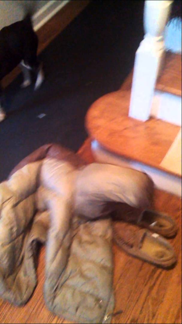 Unsuspecting Dachshund Crawls Inside Coat And Becomes a Barking Sleeve