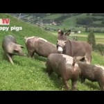 Very Happy Pigs Go Sliding Down a Muddy Canal On A Hill in Uttendorf, Austria