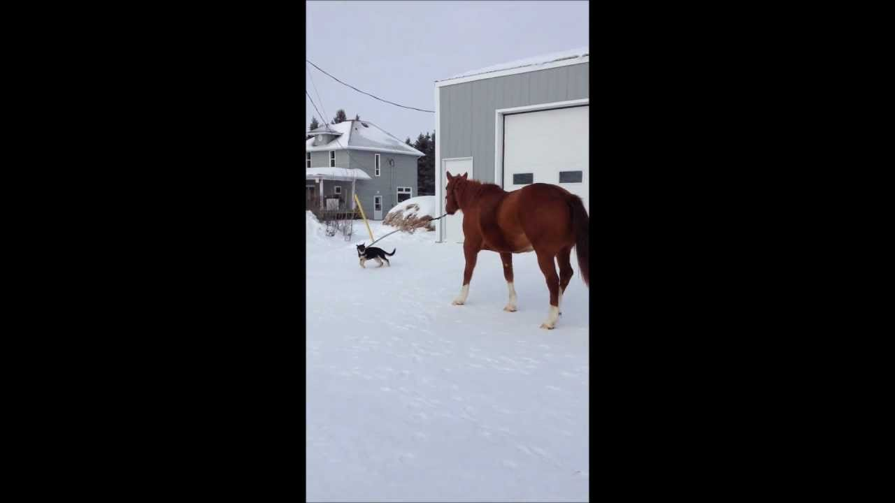 3-Month Old Puppy Takes 11-Year Old Horse For A Walk
