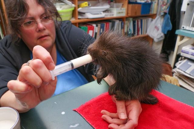Porcupine Syringe Feeding