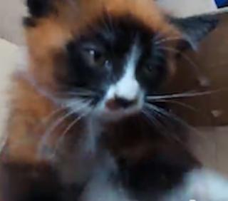 Red Panda Kitty