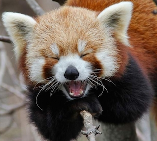 Red Panda Laughing