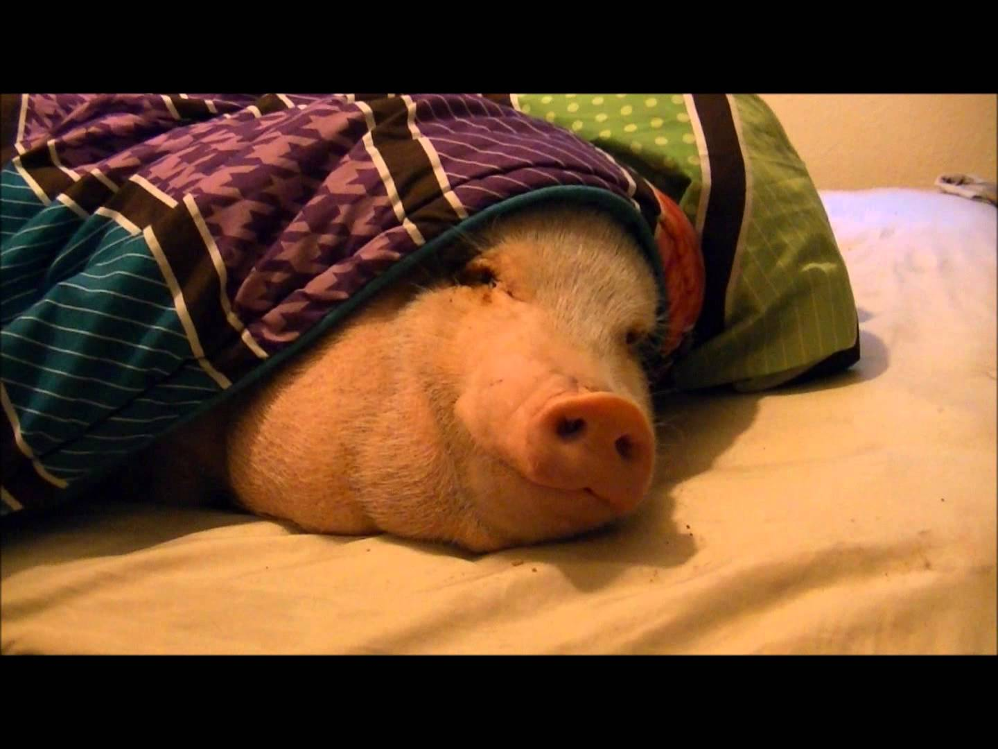 A Sleeping Pig Wakes Up To The Smell Of A Cookie Placed