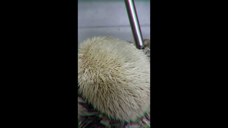 Albino Hedgehog Snores Loudly When She Sleeps