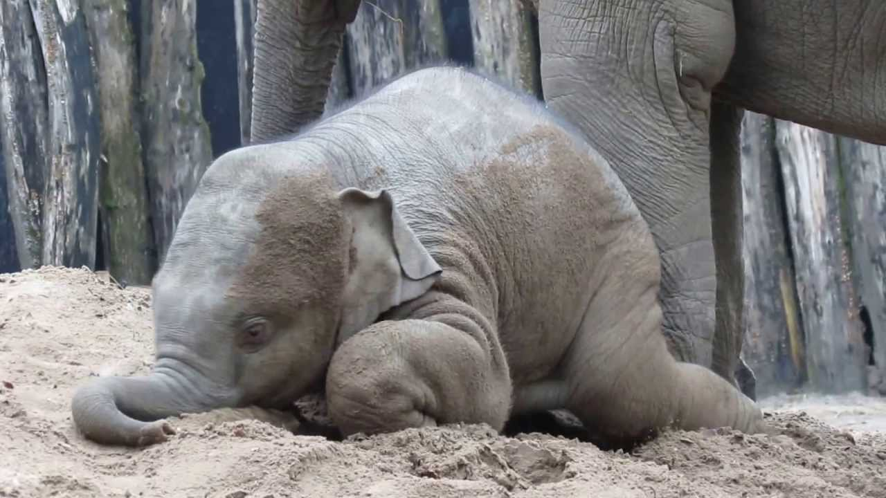 Baby Elephant Gleefully Rolls In the Dirt Under His Mother's Watchful Eye