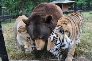 Bear, Lion and Tiger