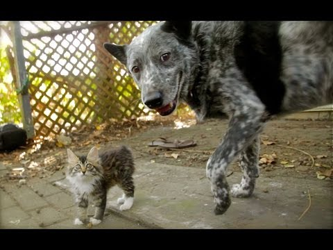 Cattle Dog and Disabled Wobbly Cat Become the Best of Friends