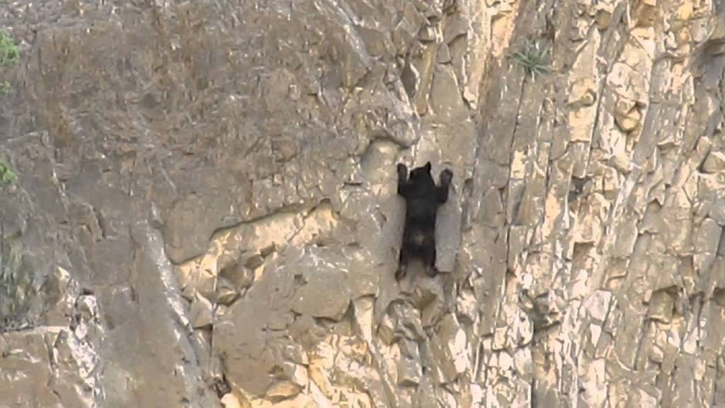Mexican Black Bears Scale The Side of A Mountain With Expert Rock Climbing Skills