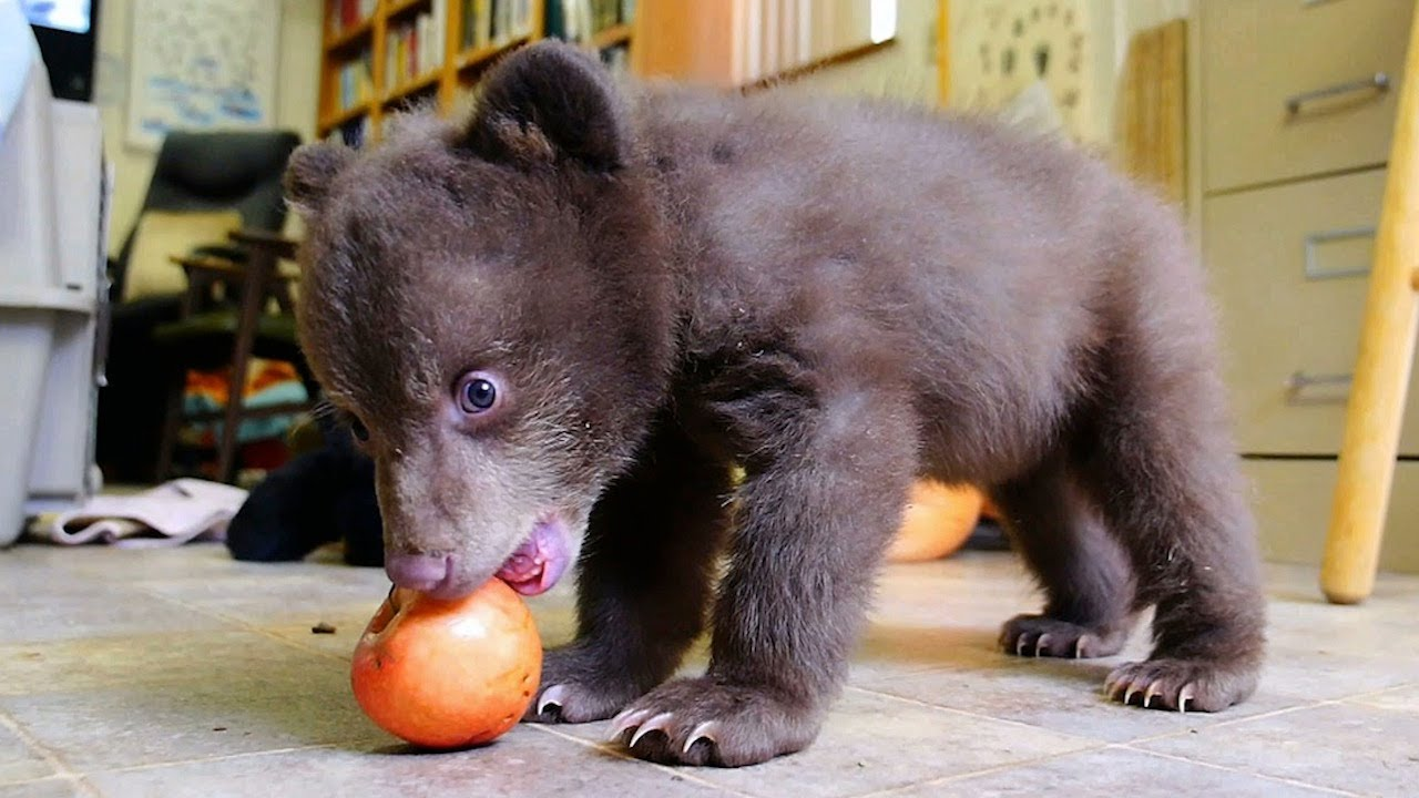 Orphaned Baby Black Bear Finds Refuge With California Rescue Center