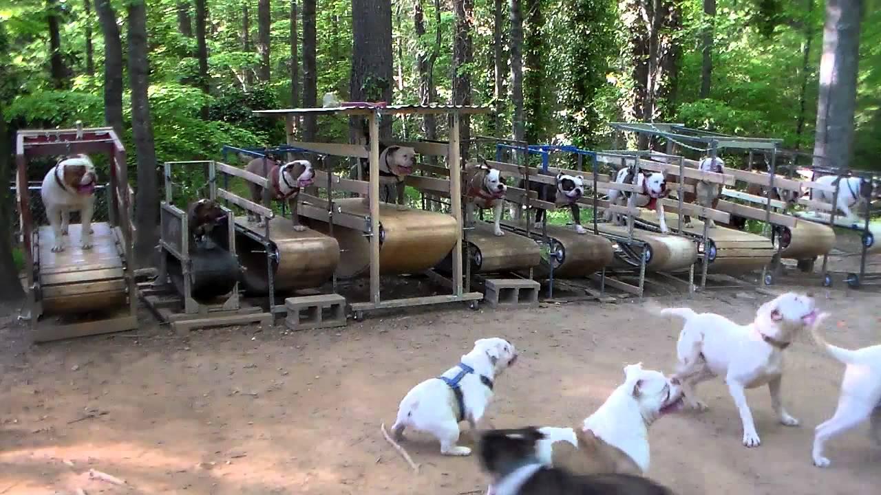 ten bulldogs on ten treadmills