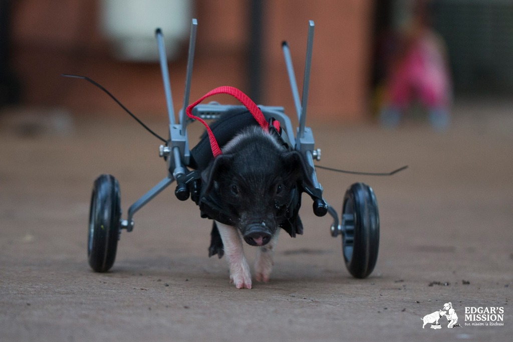 Leon Trotsky, A Piglet On the Move With Help From His Custom Cart
