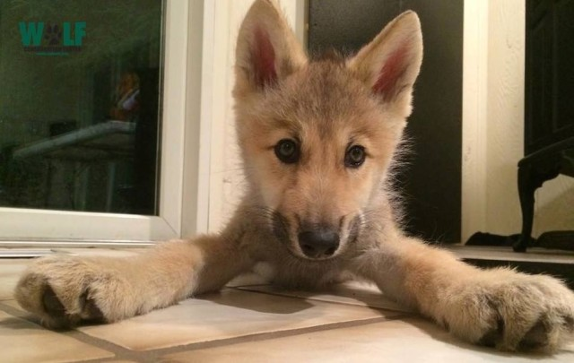 Nikai the Wolf Puppy