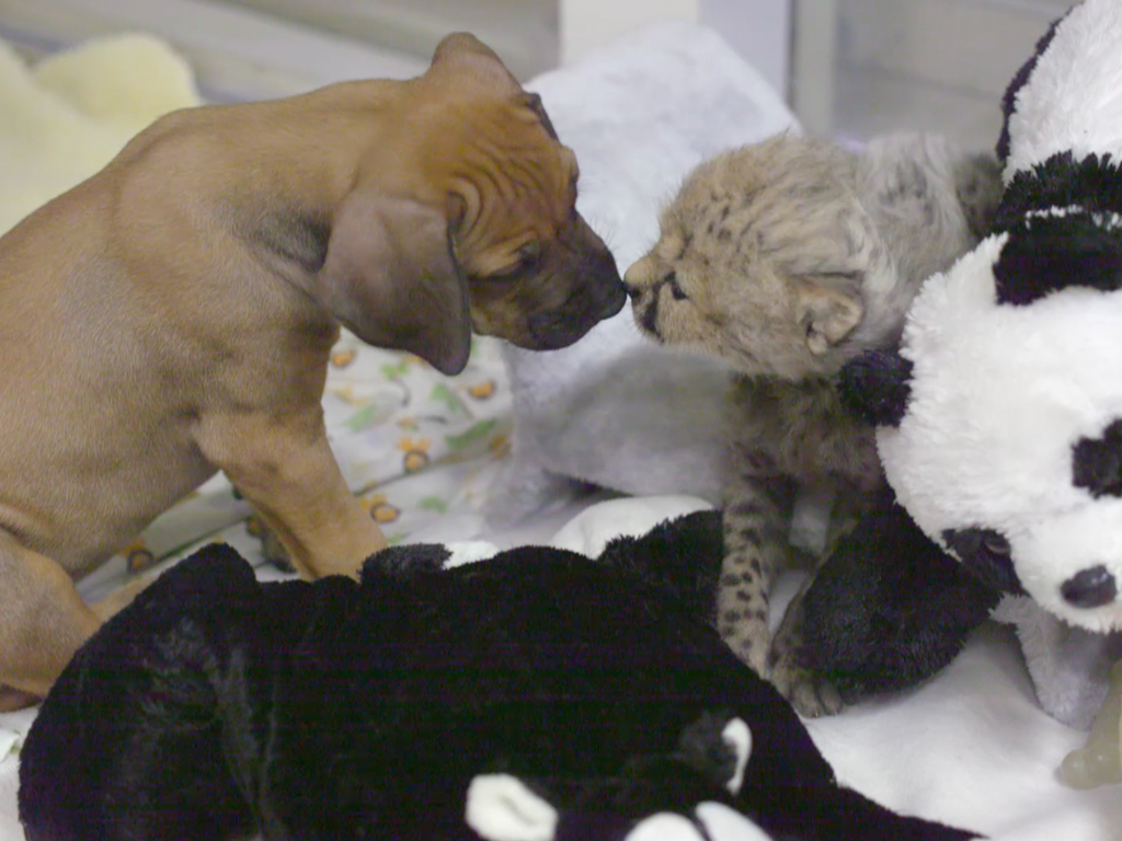 Future Lifelong Companions Ruuxa the Baby Cheetah and Raina the Puppy Meet For First Time at San Diego Zoo
