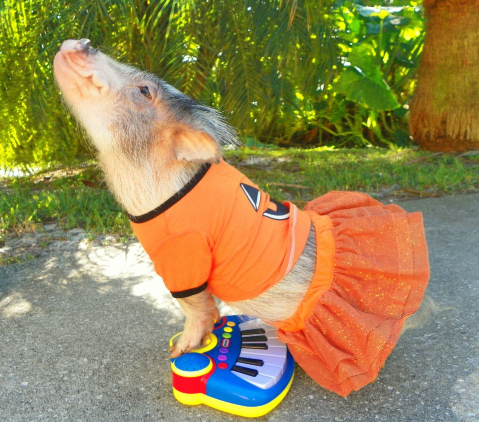 Thimble the Mini Pig Plays Toy Piano, Rocks Out On Pink Guitar and Dresses Up In Fantastic Costumes