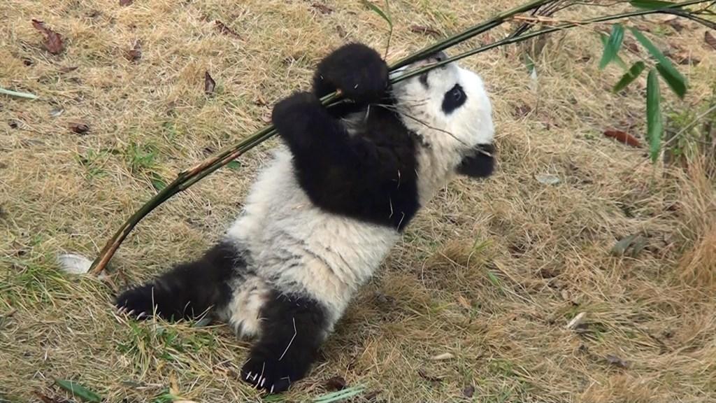 Baby Panda Tries to Climb A Very Flimsy Bamboo Tree