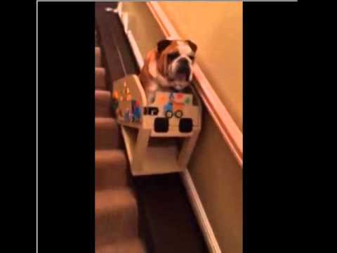 Elderly English Bulldog Rides Down The Stairs In A Custom