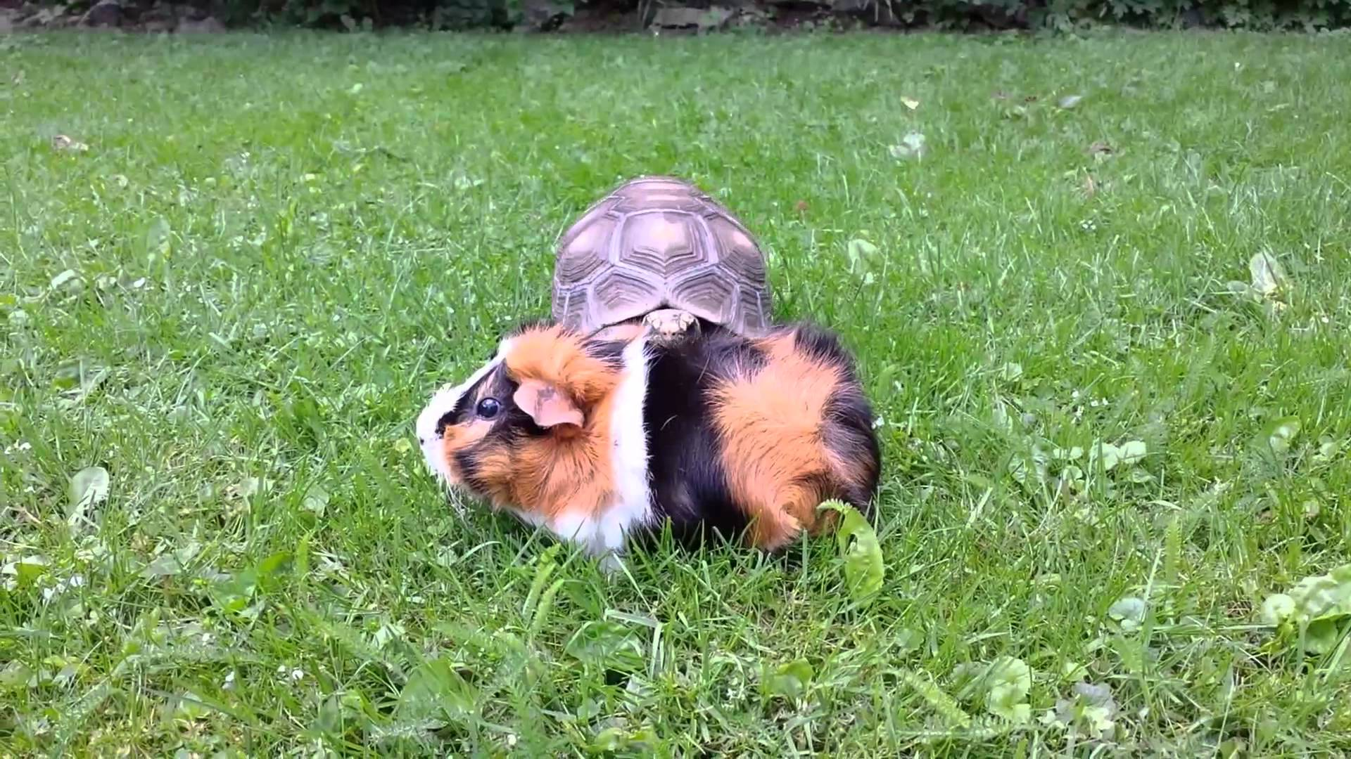 Fast-Moving Tortoise Sneaks Up On Nervous Guinea Pig