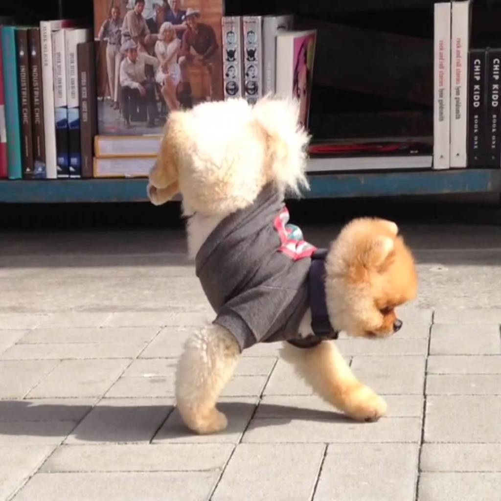 Jiff The Pomeranian Performs A Walking Handstand Along